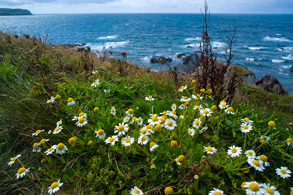 Spring flowers on the South West Coast Path